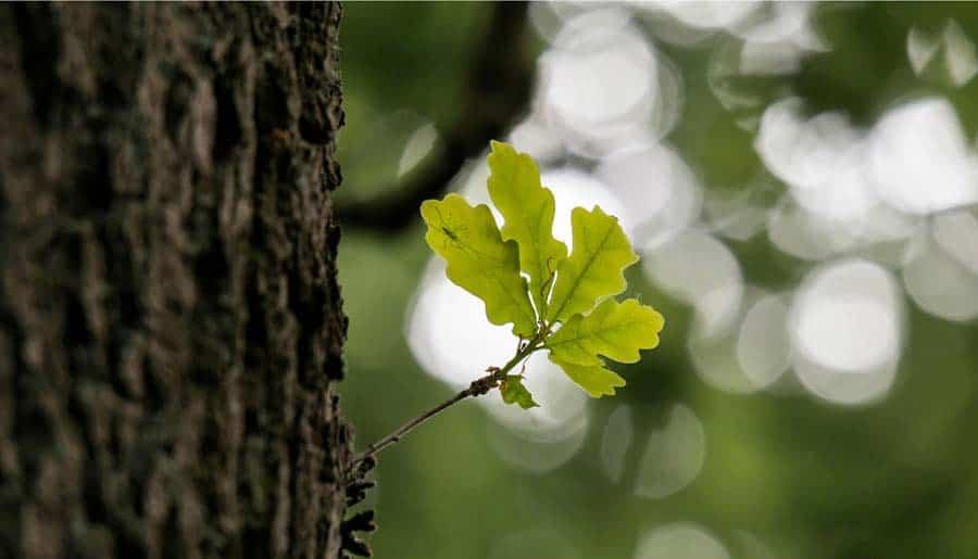 Die Gattung Quercus – oder warum wir auf knorrige Gesellen stehen.